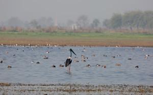 09. 2I5A2743 Blackneck Stork