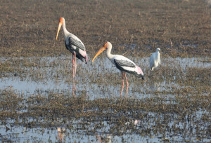 12. 2I5A2610 Painted Stork