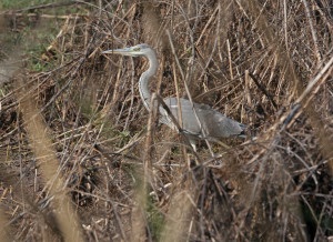 16. 2I5A2853 Grey Heron