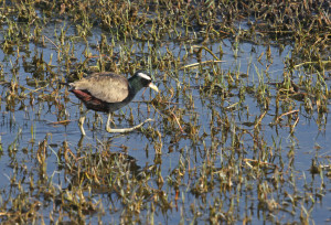 18. 2I5A2590 Bronze-winged Jacana
